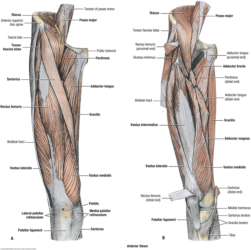 Duke Anatomy Lab 14 Anterior Thigh Leg