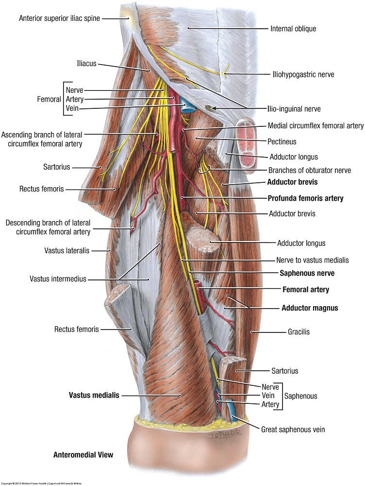 Duke Anatomy Lab 14 Anterior Thigh Leg