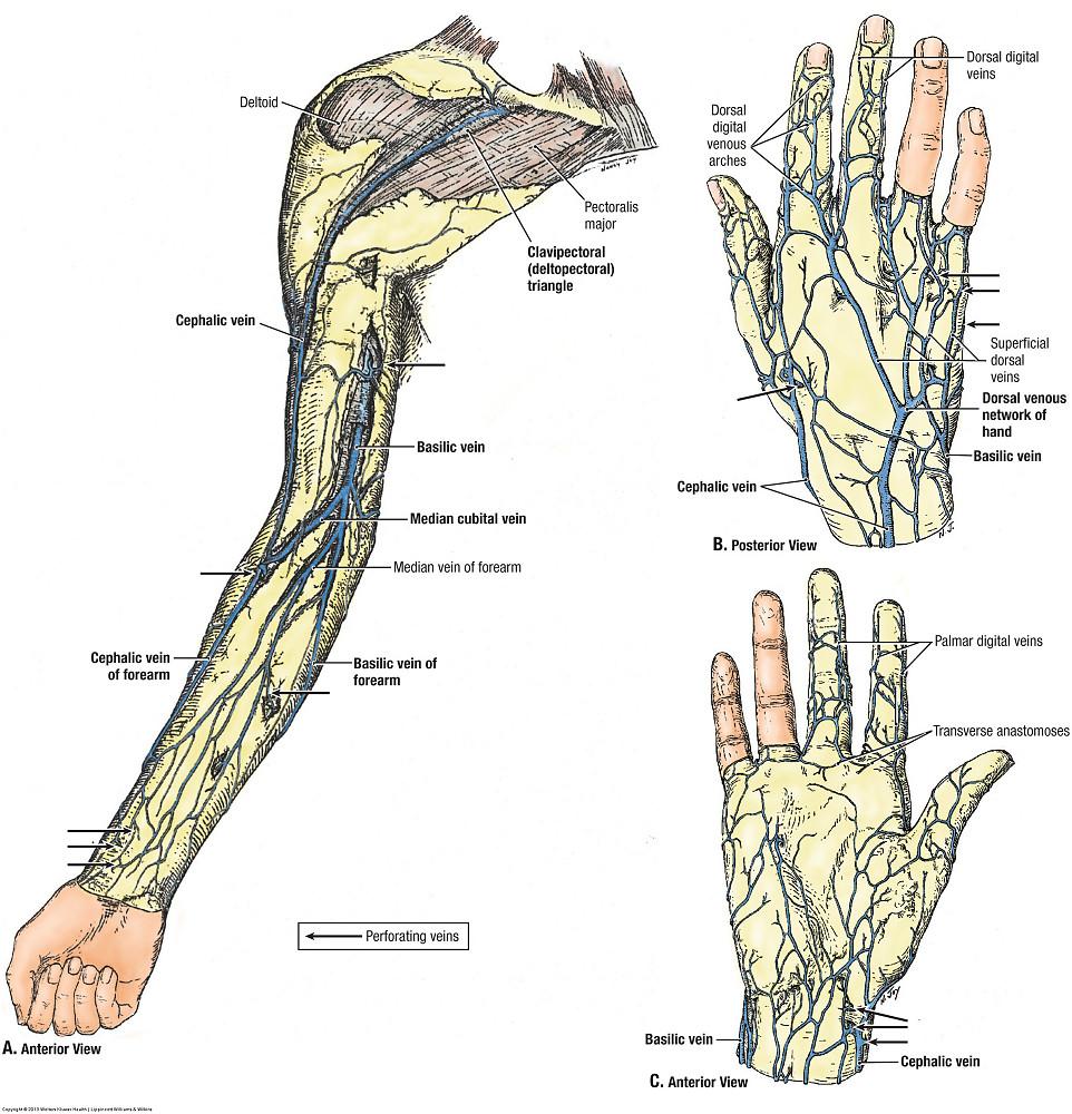 Duke Anatomy - Lab 11: Intrinsic and extrinsic flexors of the ...
