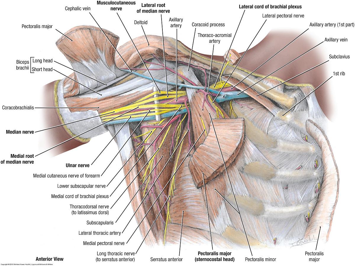 Duke Anatomy Lab 10 Shoulder Axilla Arm