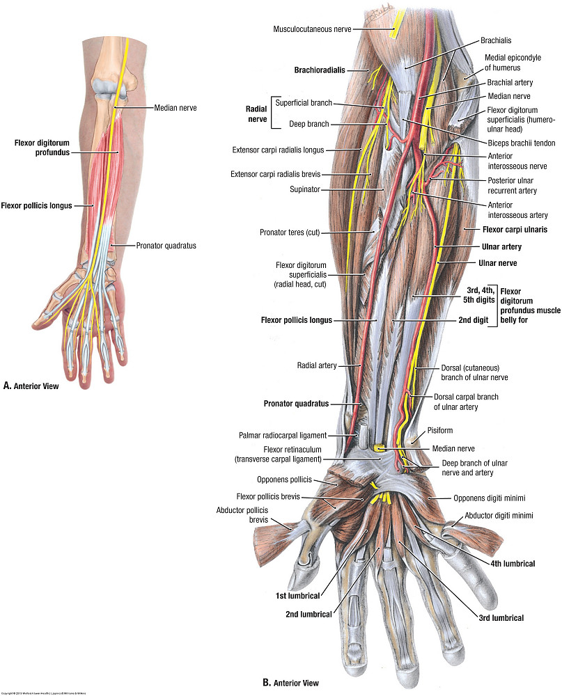 Duke Anatomy Lab 12 Extensor Surface Of The Forearm And Hand