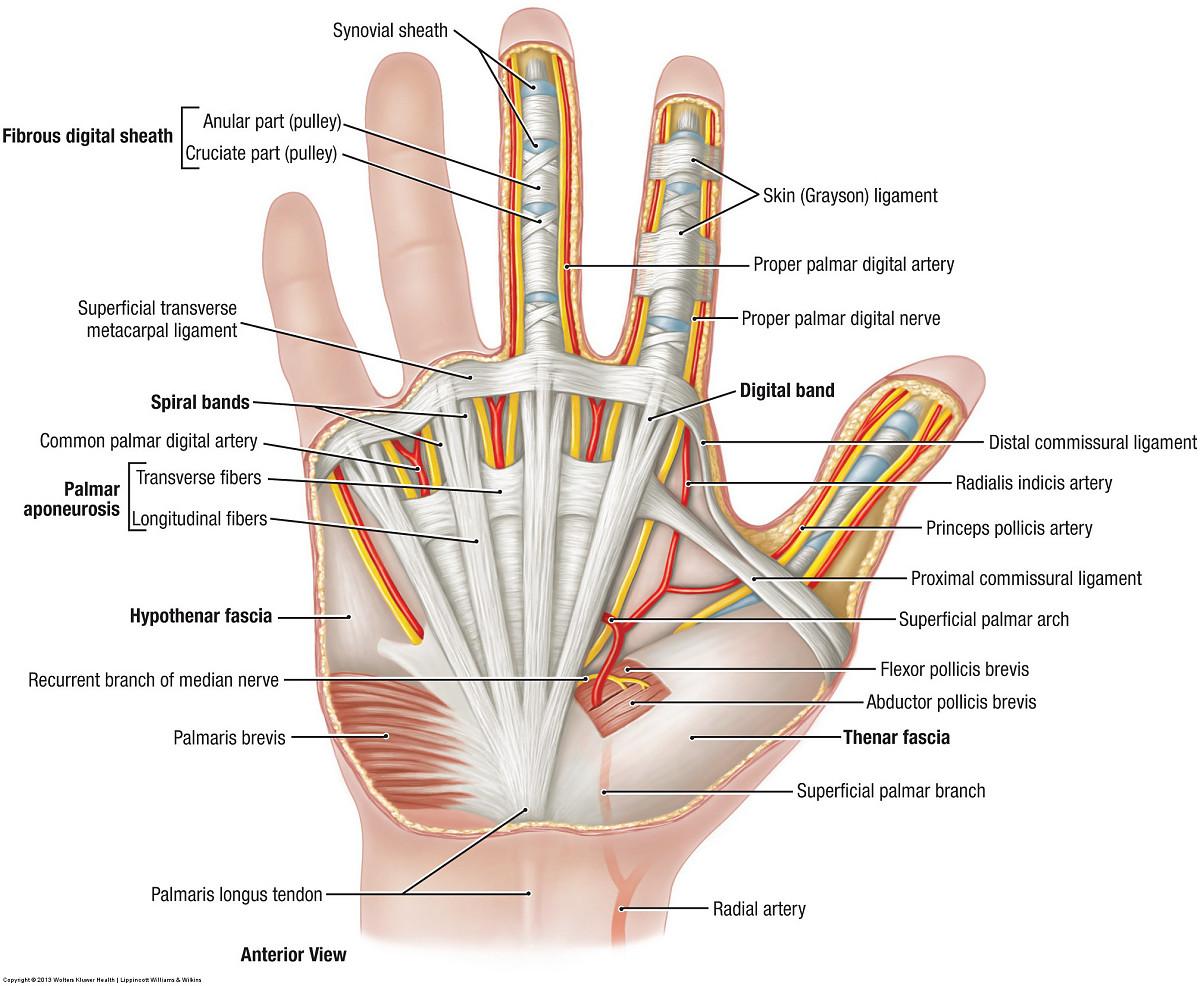 knee tendon diagram duke anatomy lab 11 intrinsic and extrinsic flexors of forearm tendon diagram