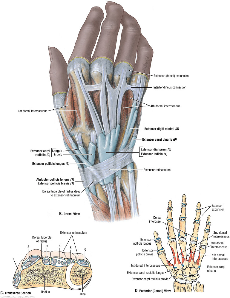 Duke Anatomy - Lab 11: Intrinsic and extrinsic flexors of