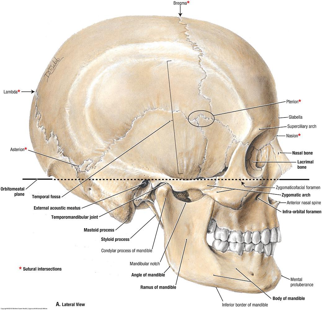 Duke Anatomy Lab 19 Skull