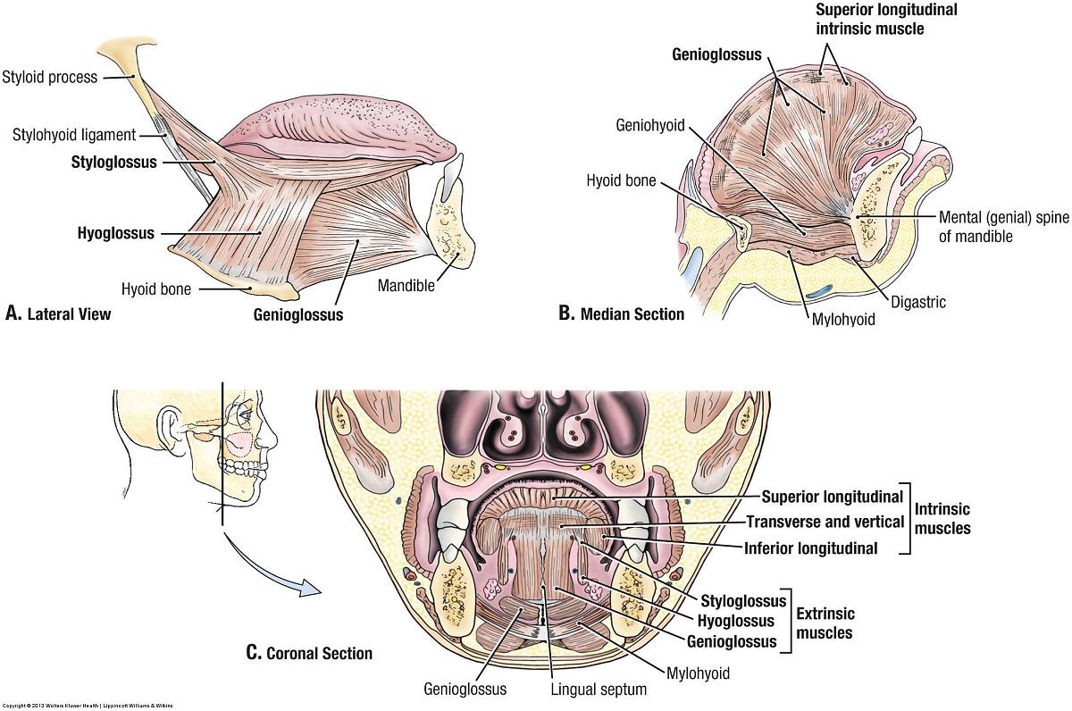 Duke Anatomy Lab 24 Bisected Head Ii
