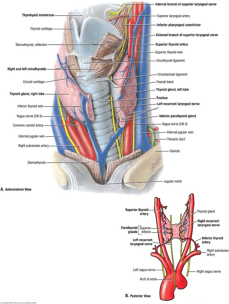 Duke Anatomy Lab 21 Neck Carotid Sheath