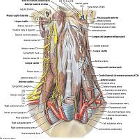 Duke Anatomy - Lab 21: Neck & Carotid Sheath