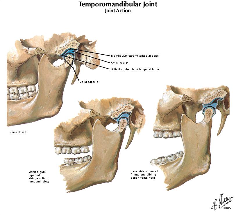 Duke Anatomy Lab 25 First Pharyneal Arch