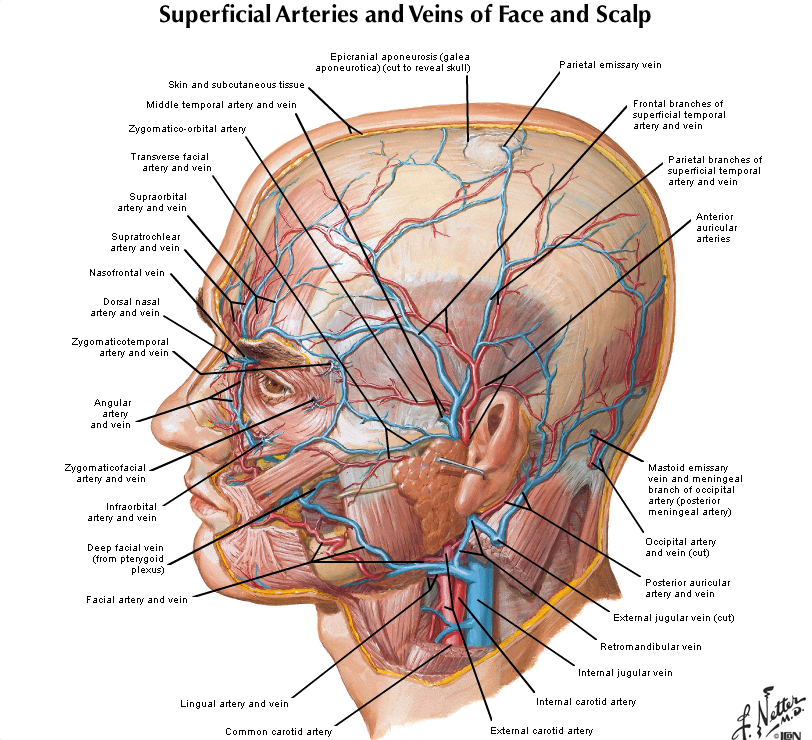 Duke Anatomy Lab 17 Scalp Face
