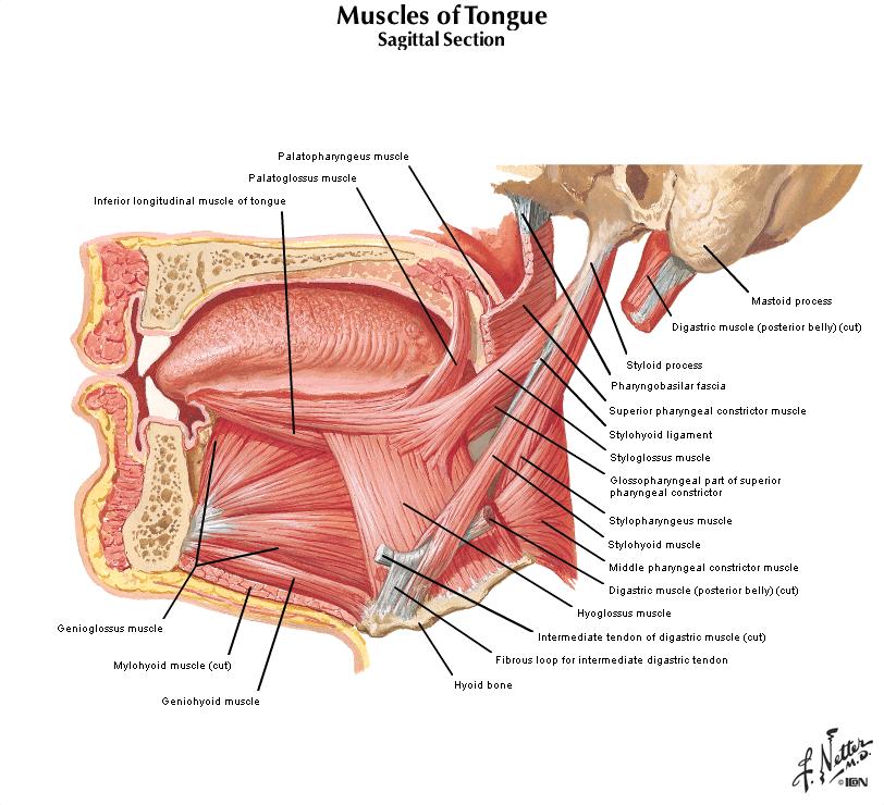 Duke Anatomy Tables Lab 22 23 Oropharynx Infratemporal Fosssa