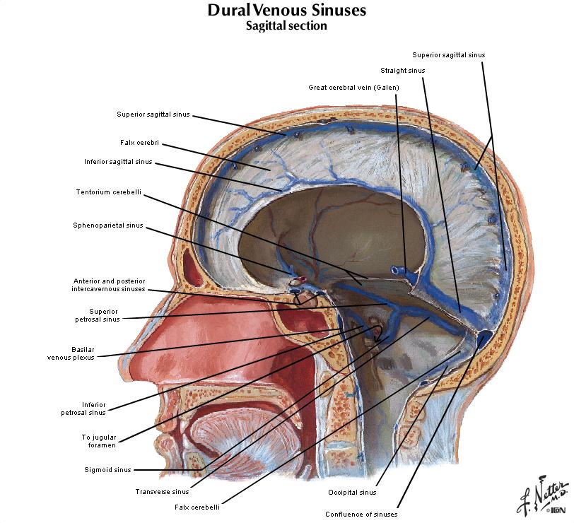 Duke Anatomy Lab 18 Cranial Cavity