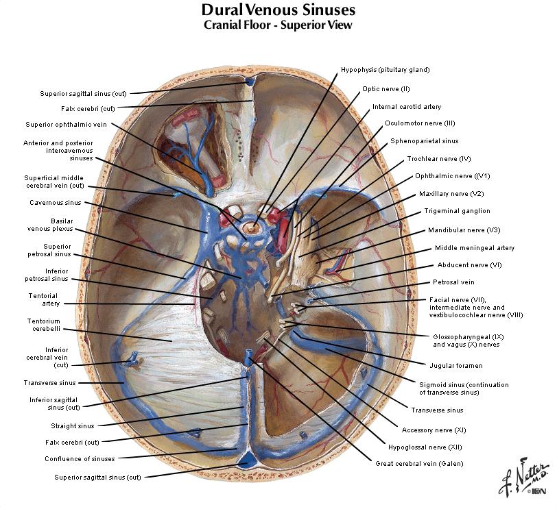 Duke Anatomy Tables Labs 18 19 Skull And Cranial Cavity