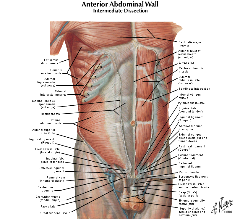 Duke Anatomy Lab 5 Anterior Abdominal Body Wall Abdominal Viscera