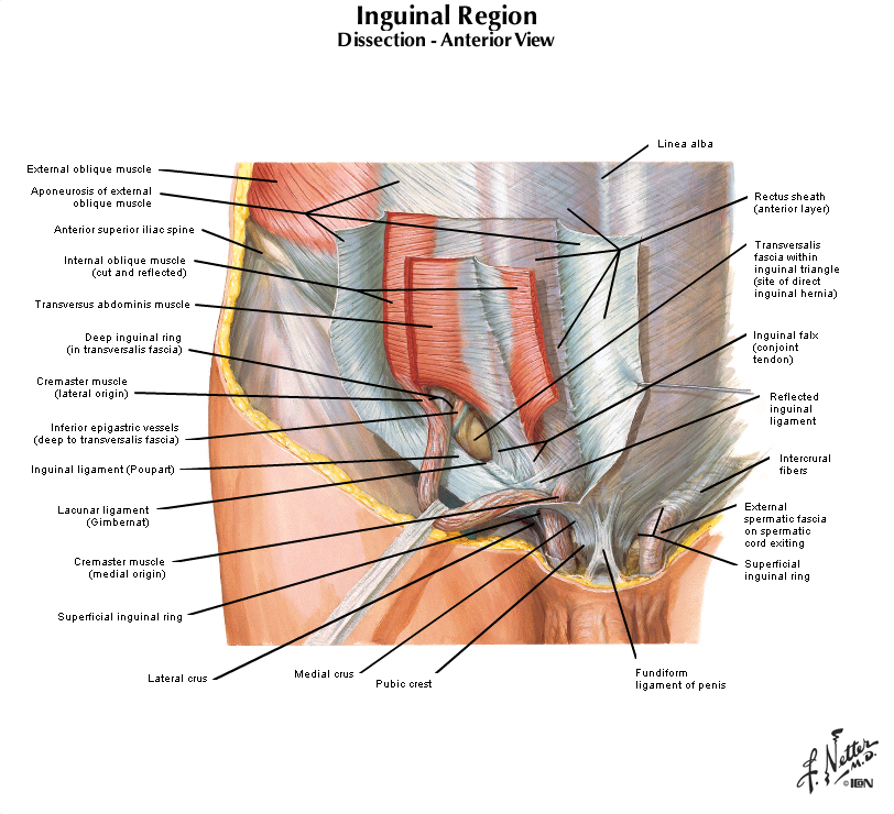 Duke Anatomy - Lab 7: Inguinal Region & Gonads Female Inguinal Hernia Anatomy