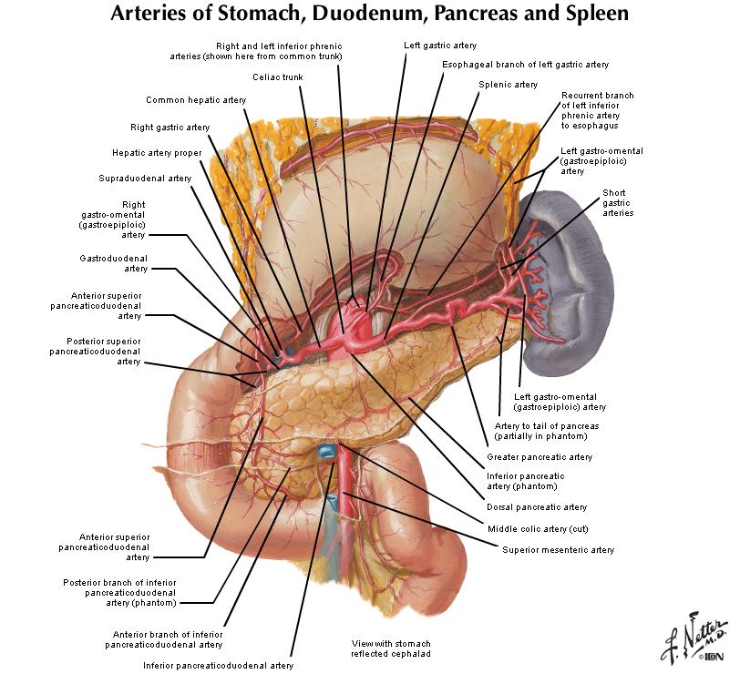 Duke Anatomy Lab 5 Anterior Abdominal Body Wall Abdominal Viscera