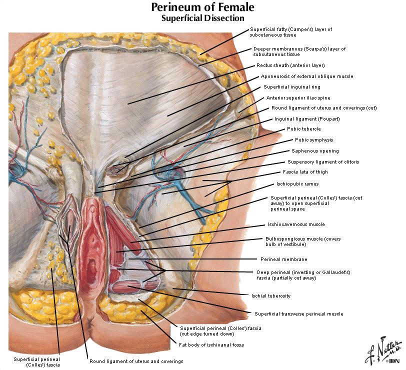 Duke Anatomy Lab 9 Perineum