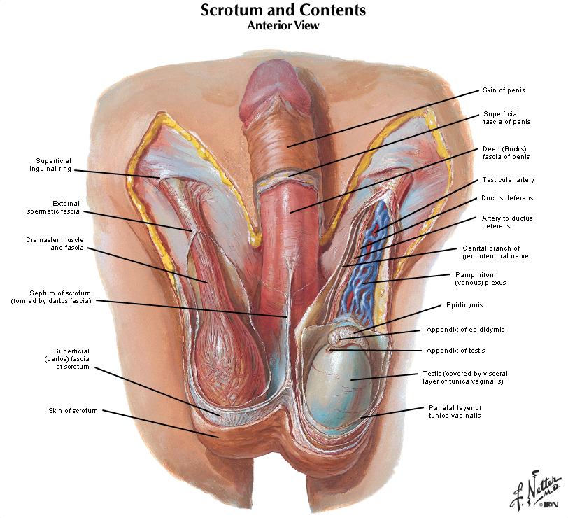 Duke Anatomy Lab 7 Inguinal Region Gonads