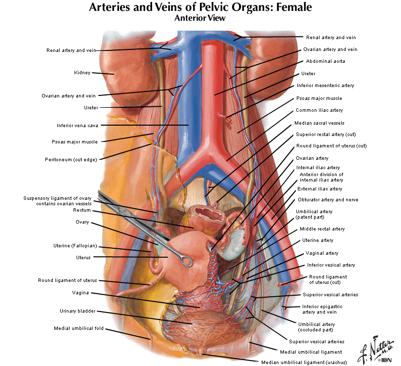 Duke Anatomy Lab 7 Inguinal Region Gonads