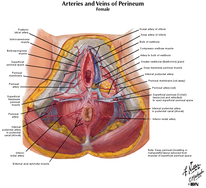Duke Anatomy Lab 9 Perineum