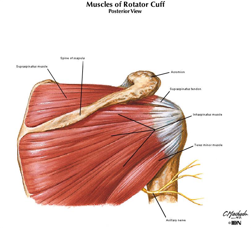 Infraspinatus Muscles Diagram Schematics Wiring Diagrams