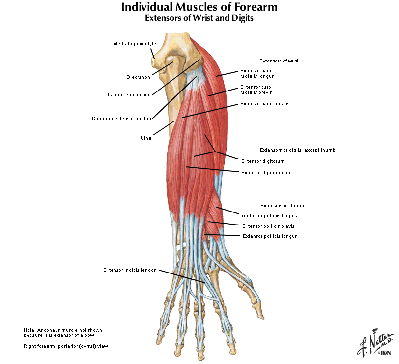 Duke Anatomy - Lab 12: Extensor surface of the forearm and hand