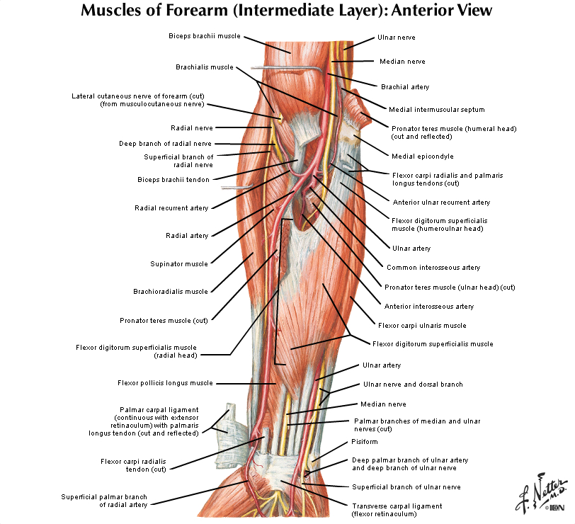 Duke Anatomy Lab 11 Intrinsic And Extrinsic Flexors Of The
