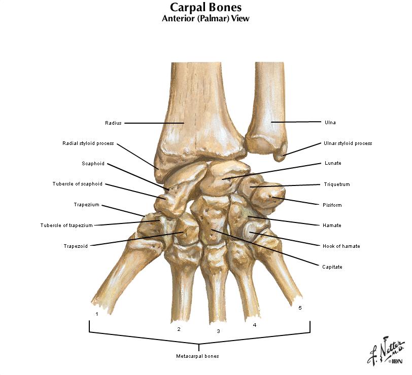 Duke Anatomy Tables Labs 10 12 Upper Limb