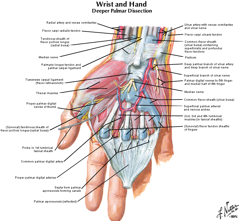 Duke Anatomy Tables - Labs 10-12: Upper Limb