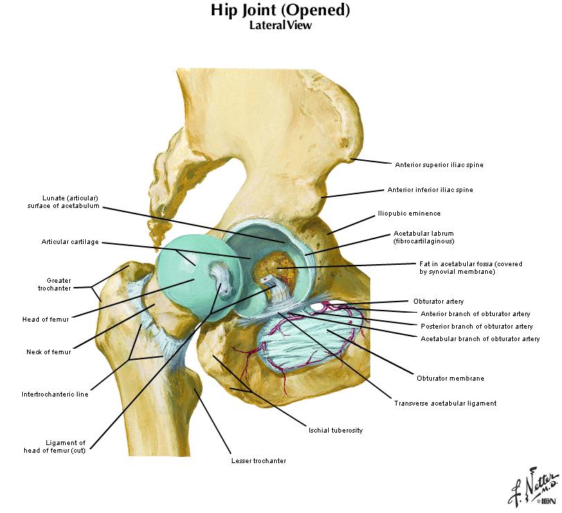 Duke Anatomy Lab 16 Upper Lower Limb Joints
