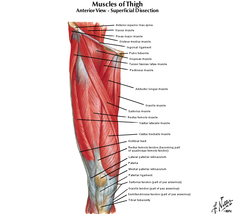 Duke Anatomy Tables Labs 14 16 Lower Limb