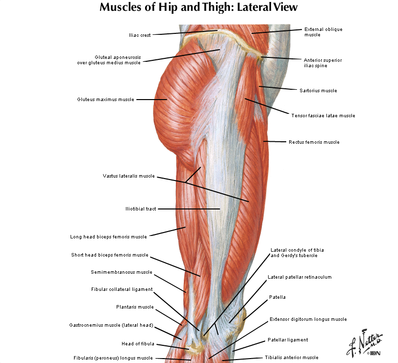 Duke Anatomy - Lab 13: Gluteal Region & Posterior Thigh