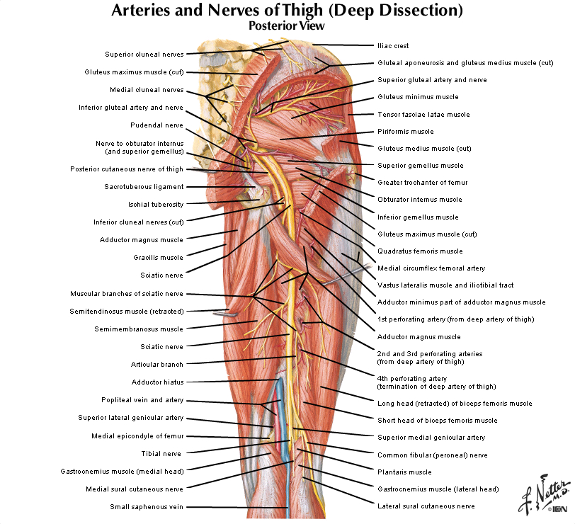 Duke Anatomy - Lab 13: Gluteal Region & Posterior Thigh