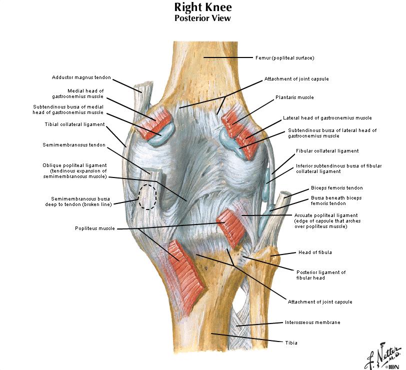 Duke Anatomy - Lab 16: Upper & Lower Limb Joints
