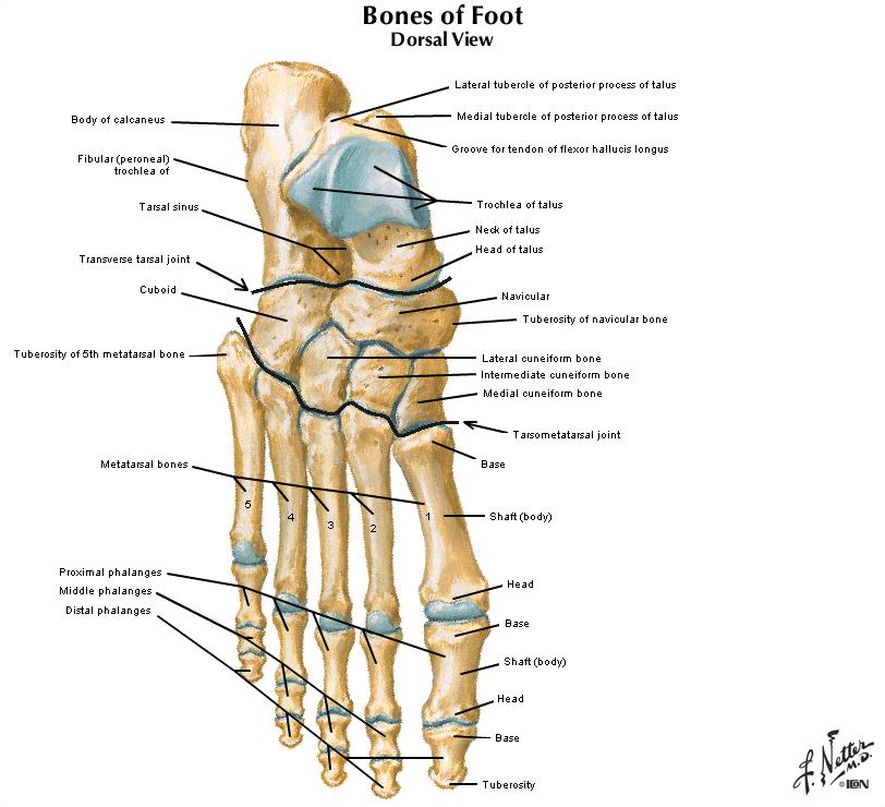 heavy medial leg bone
