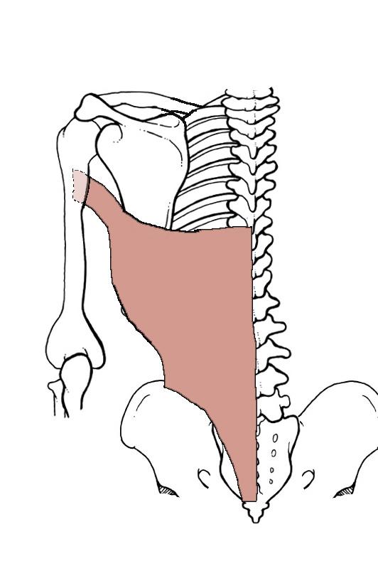 Duke Anatomy Tables Superficial Back