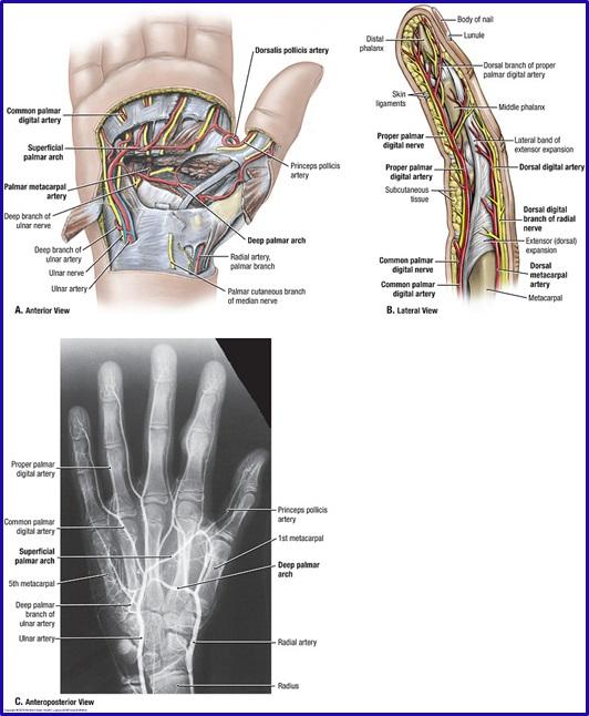 Duke Anatomy Lab 11 Intrinsic And Extrinsic Flexors Of The