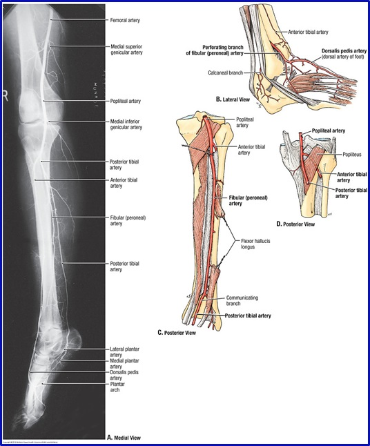 Duke Anatomy - Lab 14: Anterior Thigh & Leg