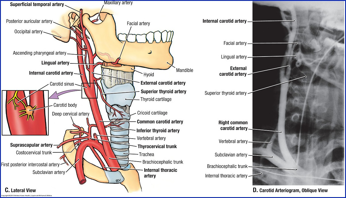 Duke Anatomy - Lab 21: Neck & Carotid Sheath