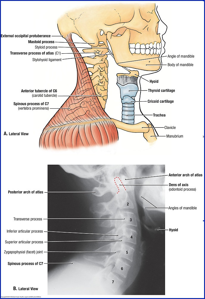 Muscles of the Back  dummies