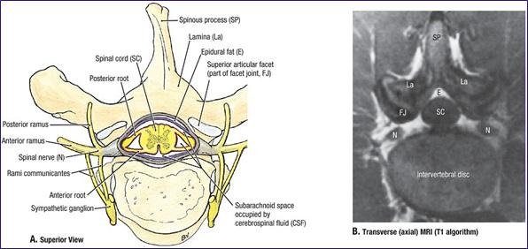 Dural sac anatomy